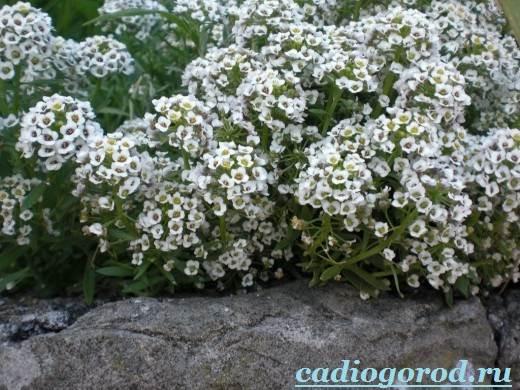 Алиссум-Описание-и-уход-за-цветком-алиссумом-1
