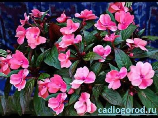 Бальзамин-цветок-Описание-и-уход-за-бальзамином-1