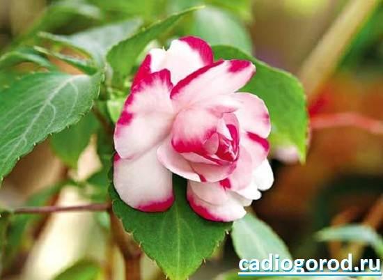 Бальзамин-цветок-Описание-и-уход-за-бальзамином-6