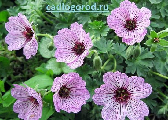 Герань-Описание-и-уход-за-цветком-герань-10
