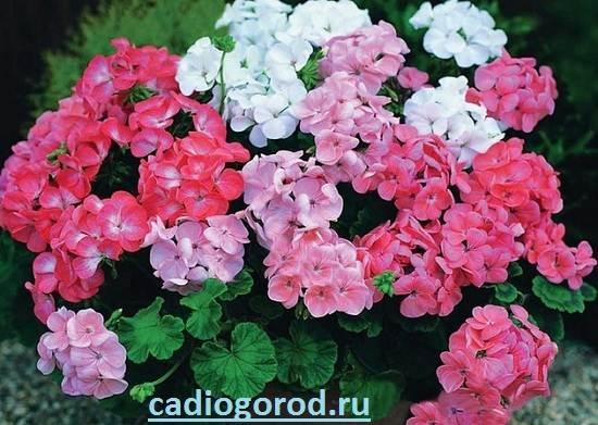 Герань-Описание-и-уход-за-цветком-герань-2