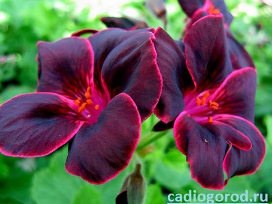 Герань-Описание-и-уход-за-цветком-герань-4