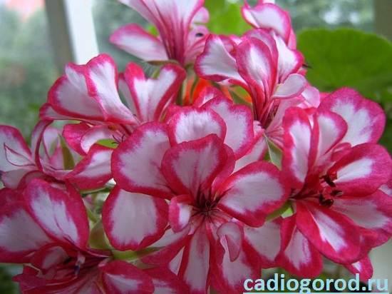 Герань-Описание-и-уход-за-цветком-герань-6