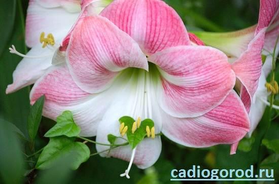 Гиппеаструм-Описание-и-уход-за-цветком-гиппеаструмом-7