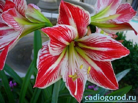 Гиппеаструм-Описание-и-уход-за-цветком-гиппеаструмом-8