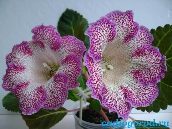 Глоксиния-Описание-и-уход-за-цветком-глоксиния-2