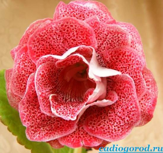 Глоксиния-Описание-и-уход-за-цветком-глоксиния-5