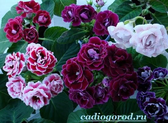 Глоксиния-Описание-и-уход-за-цветком-глоксиния-6