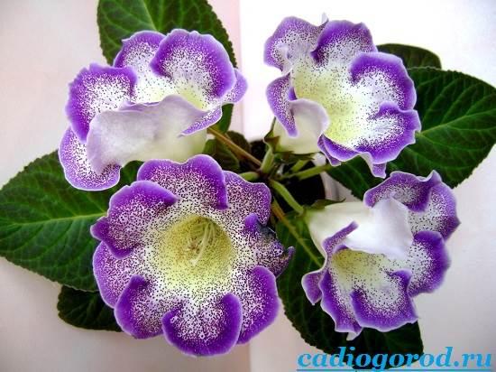 Глоксиния-Описание-и-уход-за-цветком-глоксиния-8