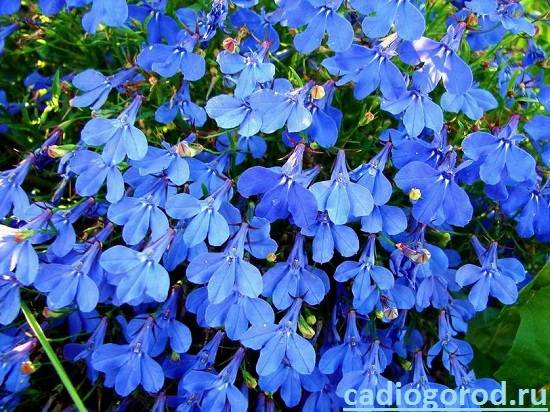 Лобелия-Описание-и-уход-за-цветком-лобелия-1