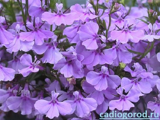 Лобелия-Описание-и-уход-за-цветком-лобелия-2