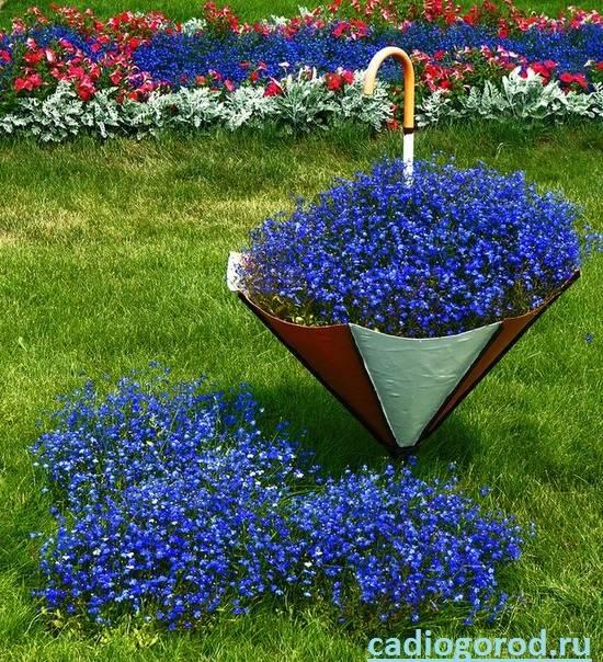 Лобелия-Описание-и-уход-за-цветком-лобелия-4
