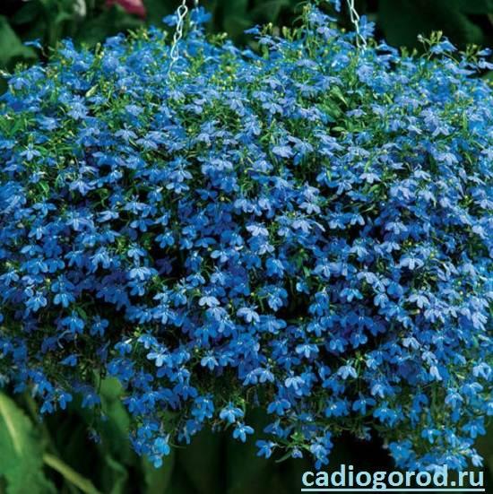 Лобелия-Описание-и-уход-за-цветком-лобелия-5