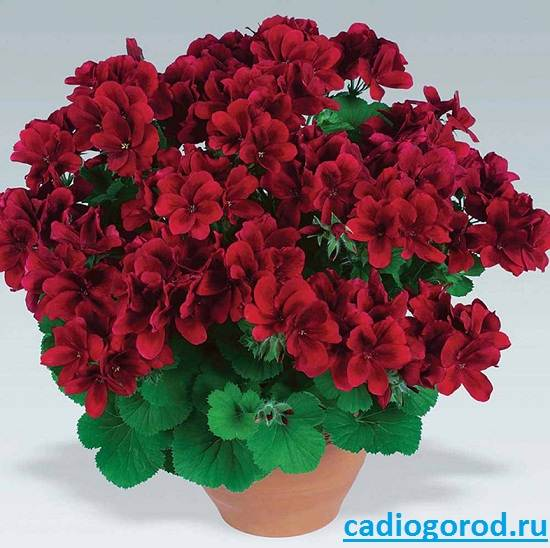 Пеларгония-цветок-Описание-пеларгонии-Виды-и-уход-за-пеларгонией-1
