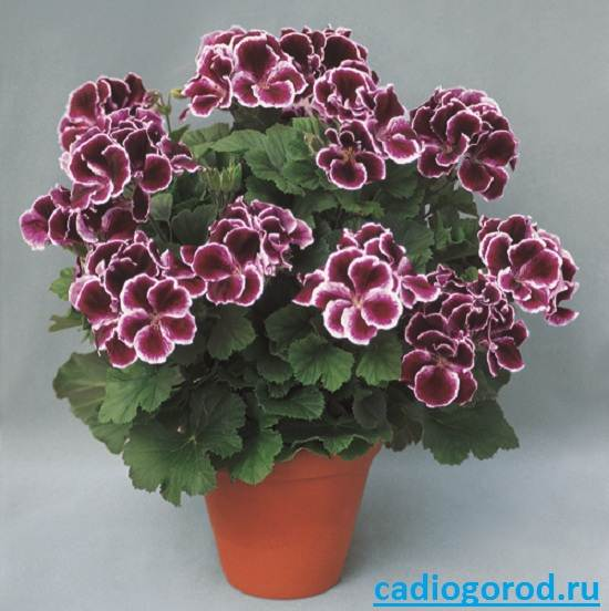 Пеларгония-цветок-Описание-пеларгонии-Виды-и-уход-за-пеларгонией-8
