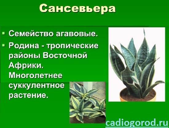 Сансевьера-Описание-особенности-и-уход-за-цветком-сансевьера-7