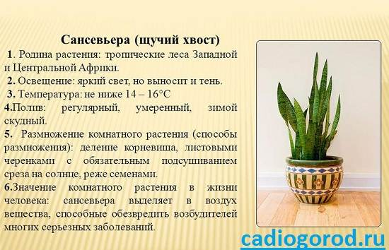Сансевьера-Описание-особенности-и-уход-за-цветком-сансевьера-8