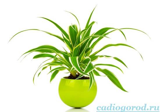 Хлорофитум-Описание-и-уход-за-цветком-хлорофитумом-3