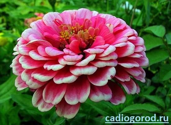 Циния-цветок-Описание-и-уход-за-цинией-2