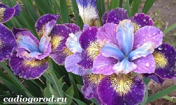 Ирис-Описание-и-уход-за-цветком-ирисом-6