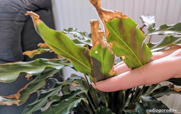 Калатея-Описание-особенности-и-виды-цветка-калатея-16