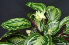 Калатея. Описание, особенности и виды цветка калатея