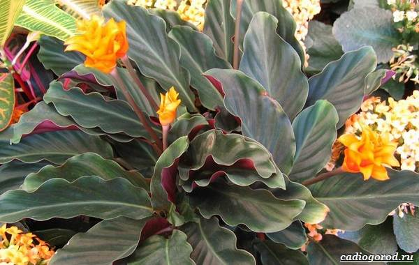 Калатея-Описание-особенности-и-виды-цветка-калатея-4
