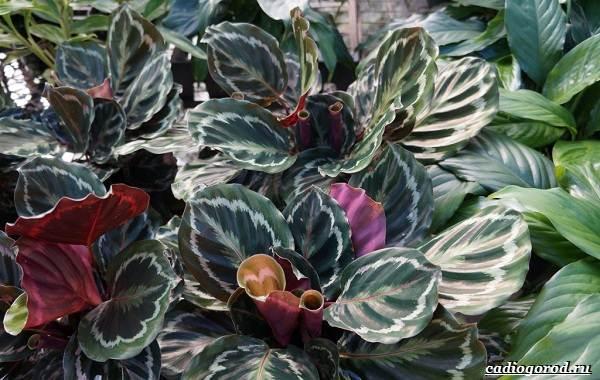 Калатея-Описание-особенности-и-виды-цветка-калатея-9