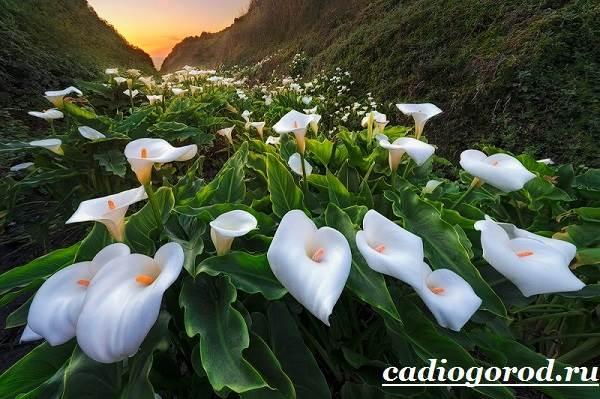Каллы-цветы-Описание-и-уход-за-каллами-2