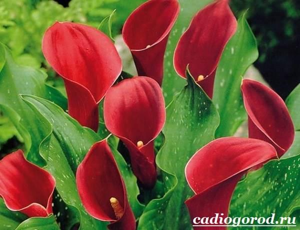 Каллы-цветы-Описание-и-уход-за-каллами-4
