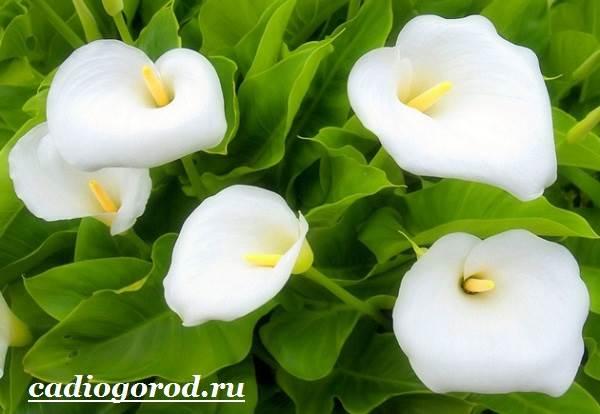 Каллы-цветы-Описание-и-уход-за-каллами-5