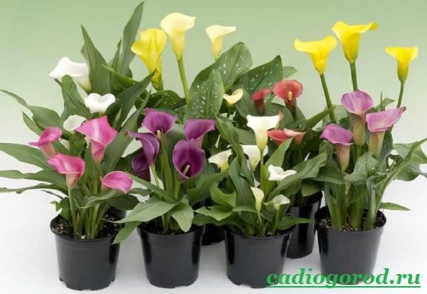 Каллы-цветы-Описание-и-уход-за-каллами-6
