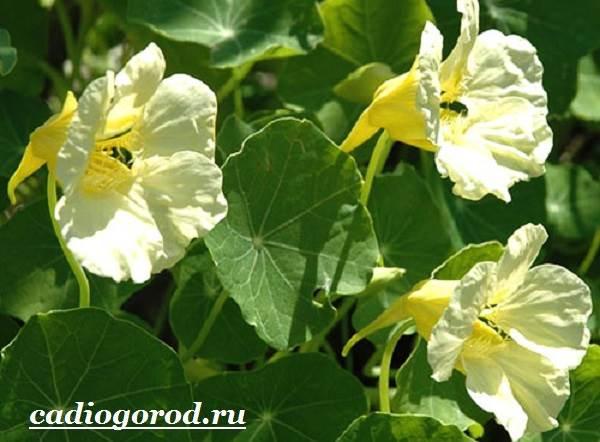 Настурция-цветок-Описание-и-уход-за-настурцией-13