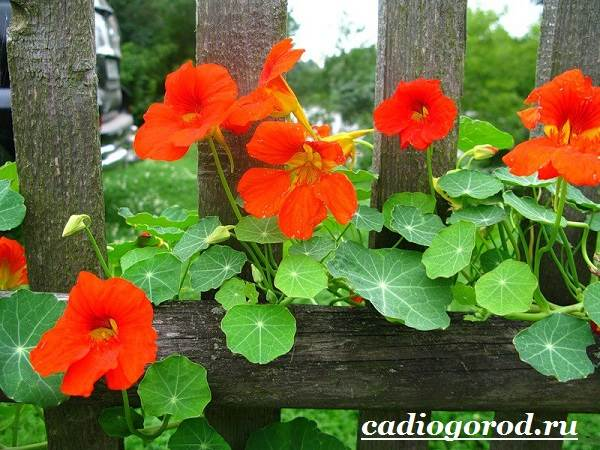 Настурция-цветок-Описание-и-уход-за-настурцией-2