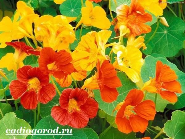 Настурция-цветок-Описание-и-уход-за-настурцией-3