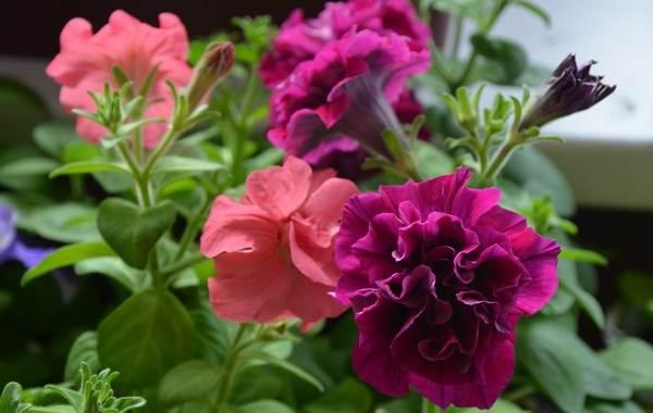 Петуния-Описание-и-уход-за-цветком-петуния-6
