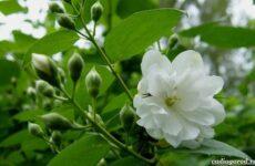 Жасмин цветок. Описание и уход за жасмином