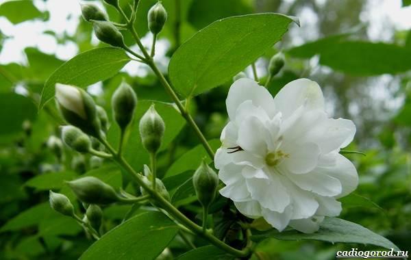 Жасмин-цветок-Описание-и-уход-за-жасмином-10
