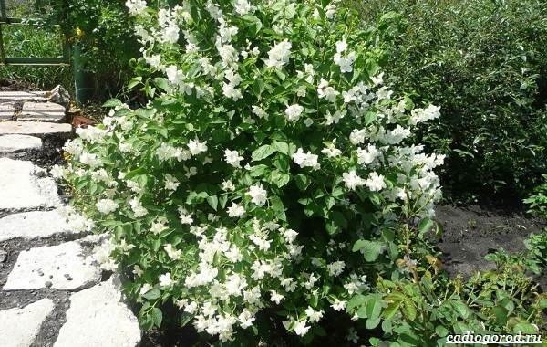 Жасмин-цветок-Описание-и-уход-за-жасмином-11