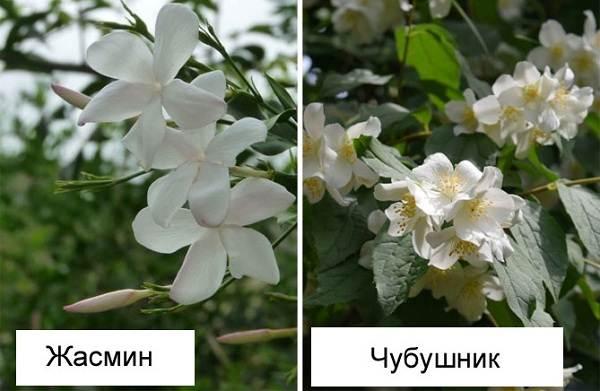 Жасмин-цветок-Описание-и-уход-за-жасмином-13