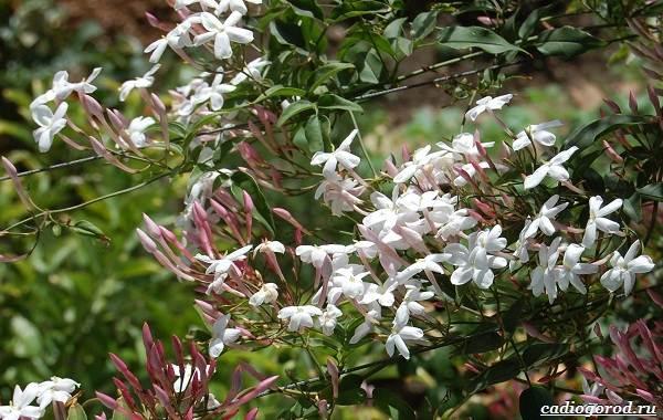 Жасмин-цветок-Описание-и-уход-за-жасмином-16