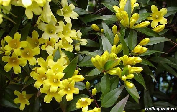Жасмин-цветок-Описание-и-уход-за-жасмином-17