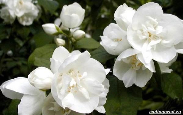 Жасмин-цветок-Описание-и-уход-за-жасмином-19