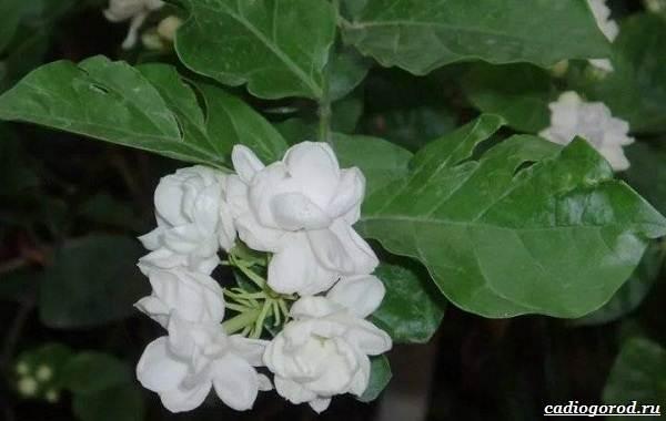 Жасмин-цветок-Описание-и-уход-за-жасмином-20