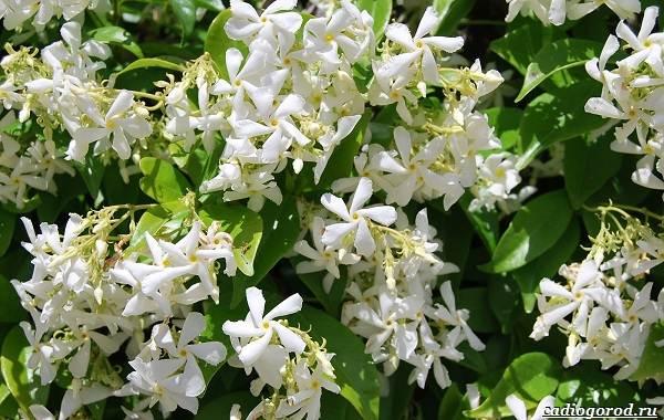 Жасмин-цветок-Описание-и-уход-за-жасмином-22