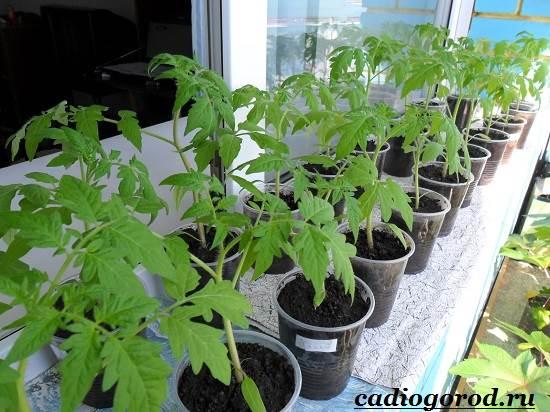 Как-сажать-помидоры-Когда-сажать-помидоры-2