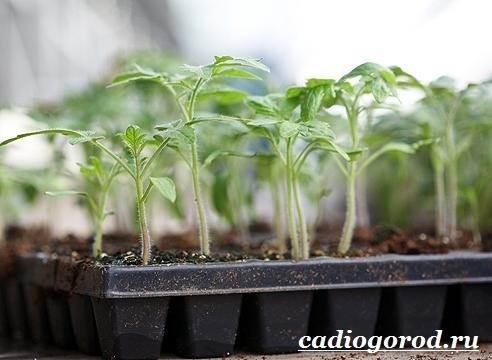 Как-сажать-помидоры-Когда-сажать-помидоры-4