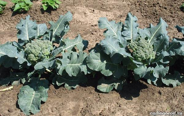 Как-сажать-капусту-Когда-сажать-капусту-15