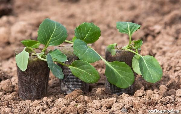 Как-сажать-капусту-Когда-сажать-капусту-16