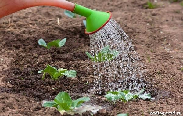 Как-сажать-капусту-Когда-сажать-капусту-19